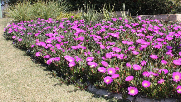 Carpobrotus rossii 'Native Pigface' 40mm TUBESTOCK
