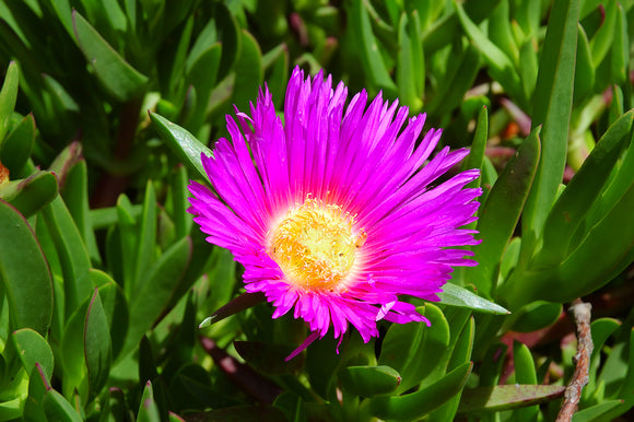Carpobrotus rossii 'Native Pigface' 50mm TUBESTOCK