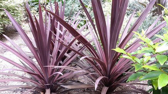 Cordyline australis purpurea 40mm TUBESTOCK - Non Native