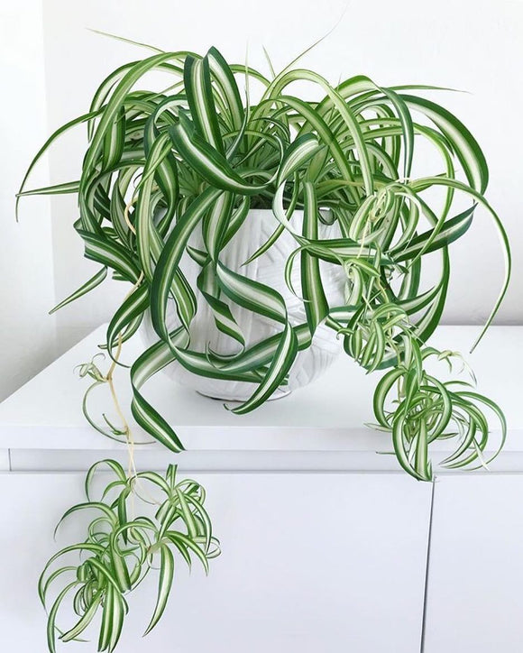 Curly Spider Plant - Chlorophytum comosum 70mm MIDI - Non Native