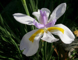Dietes grandiflora 50mm TUBESTOCK - Non Native