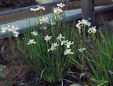 Dietes grandiflora 40mm TUBESTOCK - Non Native