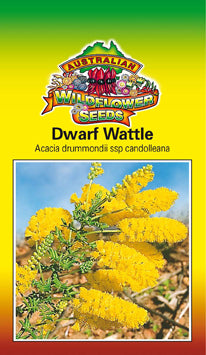 Acacia drummondii ssp. candolleana - Dwarf Wattle (OVERSEAS OPTION NO GST) (SEEDS)