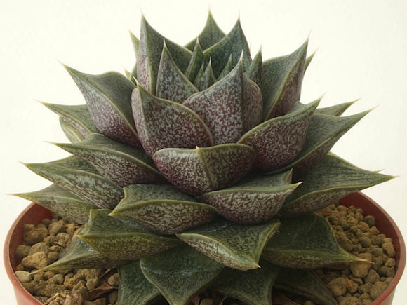 Echeveria purpusorum 70mm MIDI TUBESTOCK - Non Native