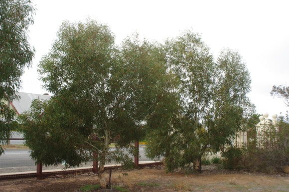 Eucalyptus leucoxylon rosea dwarf 'Murray Bridge Form' TUBESTOCK