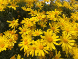 Euryops pectinatus 50mm TUBESTOCK - Non Native