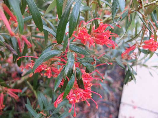 Grevillea Big Red 40mm TUBESTOCK
