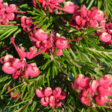 Grevillea Nancy Otzen