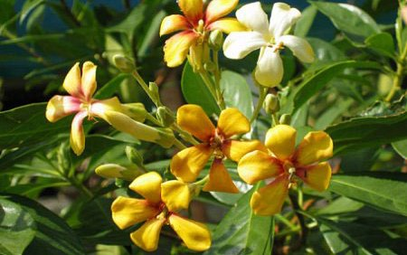Hymenosporum flavum 'Native Frangipani' 40mm TUBESTOCK