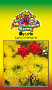 Eucalyptus erythrocorys - Illyarrie (OVERSEAS OPTION NO GST) (SEEDS)