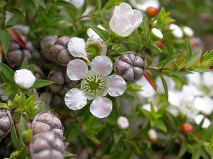 Leptospermum continentale 'Prickly Tea Tree' TUBESTOCK