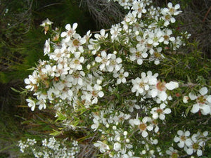 Leptospermum myrsinoides 'Silky Tea-Tree' 50mm TUBESTOCK