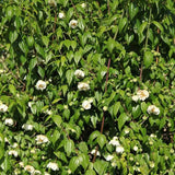Philadelphus mexicanus 'Mexican Mock Orange' 40mm TUBESTOCK - Non Native
