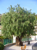 Peppercorn Tree - Schinus molle TUBESTOCK -  Non Native