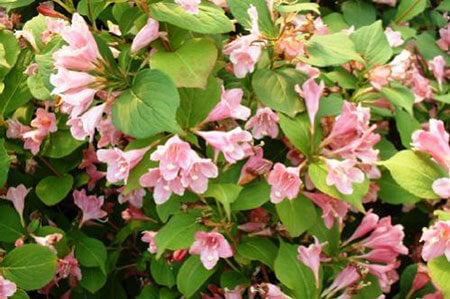 Weigela florida 'Rosea' 40mm TUBESTOCK - Non Native