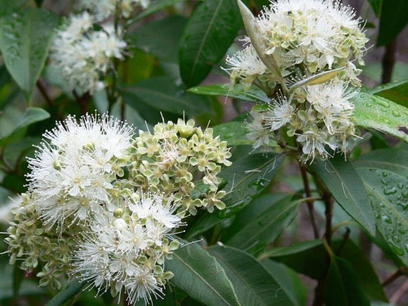 Backhousia citriodora - Lemon Myrtle - 70mm SUPERTUBES