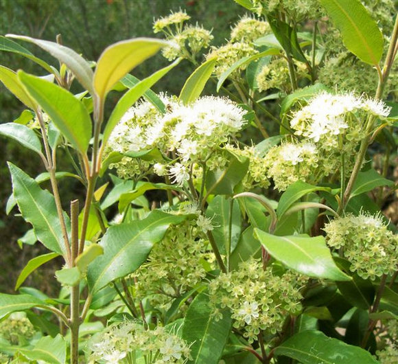 Backhousia citriodora 'Lemon Myrtle' 40mm TUBESTOCK