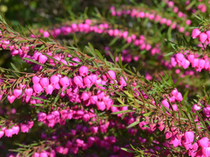 Boronia heterophylla 'Lipstick' 50mm TUBESTOCK - Non Native