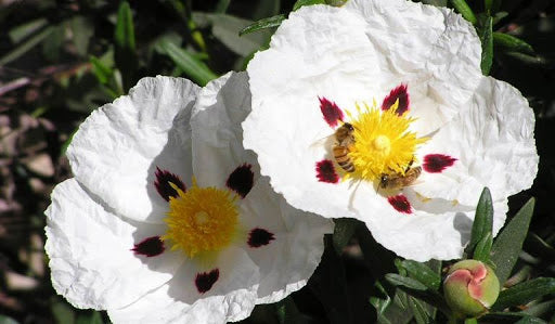 Cistus ladanifer 'Crimson-Spot Rockrose' 50mm TUBESTOCK - Non Native