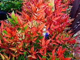 Nandina domestica 'Moonbay' 40mm TUBESTOCK - Non Native