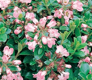 Escallonia langleyensis 'Apple Blossom' 40mm TUBESTOCK - Non Native