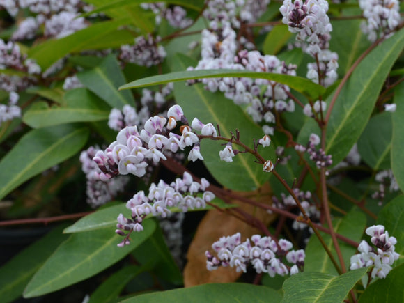 Hardenbergia violacea 'Free and Easy' 40mm TUBESTOCK