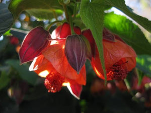 Abutilon x hybtidum 'Tango' 40mm TUBESTOCK - Non Native