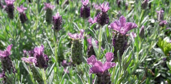 "Lavandula stoechas ""Winter Purple"" 70mm SUPERTUBE - Non Native"