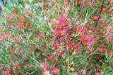 Grevillea 'Red Sunset' 40mm TUBESTOCK