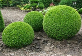 Buxus sempervirens'English Box' 70mm Round TUBESTOCK - Non Native