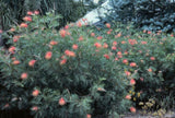 Grevillea 'Ned Kelly' 50mm TUBESTOCK