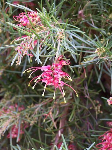 Grevillea pinaster 'Silk Carpet' 40mm TUBESTOCK