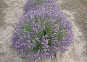 "Lavandula angustifolia ""Avice Hill"" PBR 70mm SUPERTUBES - Non Native"