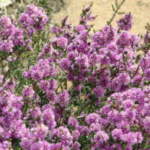 Verticordia plumosa purple 50mm TUBESTOCK