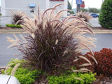 PENNISETUM SETACEUM 'RUBRUM' (PURPLE FOUNTAIN GRASS) 50mm TUBESTOCK