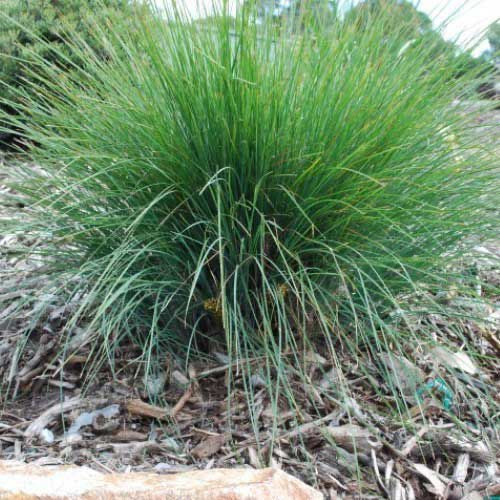 Lomandra 'Frosty Tops' 50mm TUBESTOCK