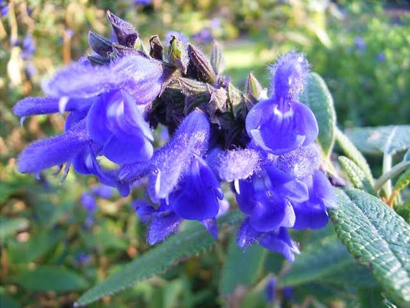 Salvia corrugata Blue 40mm TUBESTOCK - Non Native