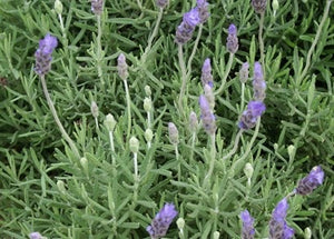 "Lavandula dentata ""Monet"" 70mm SUPERTUBES - Non Native"