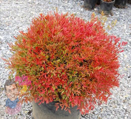 "Nandina ""Moonbay"" 70mm Round TUBESTOCK - Non Native"