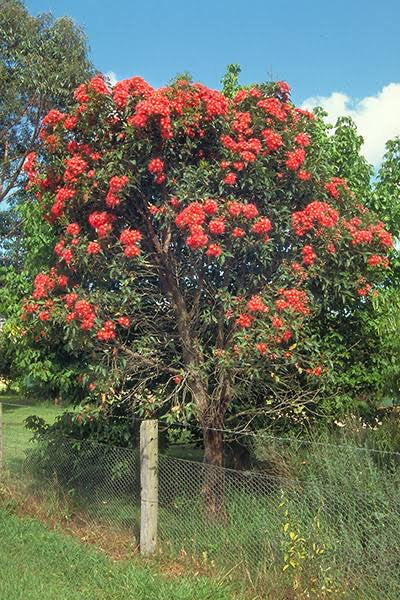Corymbia ficifolia 'Red Flowering Gum' 50mm TUBESTOCK