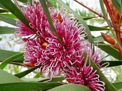 Hakea multilineata 50mm TUBESTOCK
