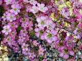 Leptospermum polygalifolium 'Tickled Pink' 50mm TUBESTOCK