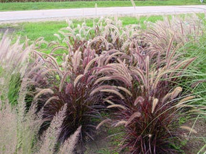 PENNISETUM SETACEUM 'RUBRUM' (PURPLE FOUNTAIN GRASS) 90mm SUPERTUBES