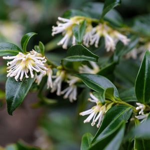 Sarcococca confusa 'Sweet Box' 40mm TUBESTOCK - Non Native