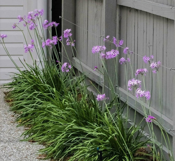 Tulbaghia violacea 'Society Garlic' 50mm TUBESTOCK - Non Native