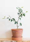 DWARF CITRUS TREE - SHOP PICK-UP ONLY