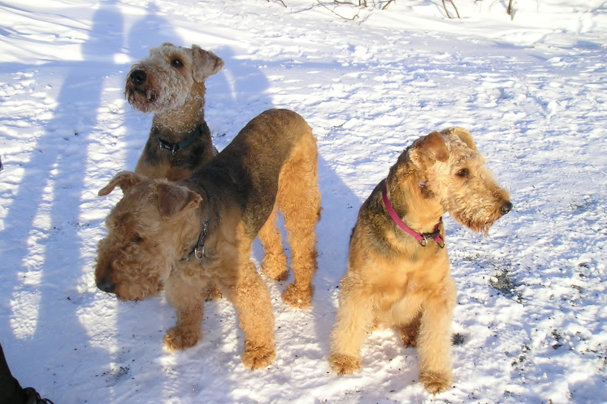 airedale terriers | PAWS4Health