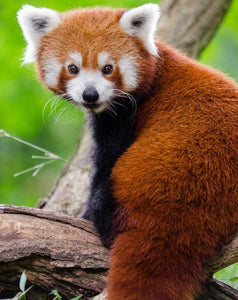 Adorable Rare Red Panda - Paint by Numbers
