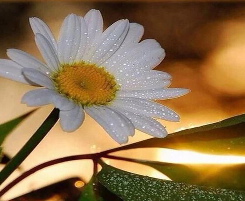 Adorable White Daisy -  Paint By Numbers