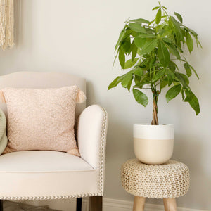 tan and white tow toned plant pot with money tree next to chair
